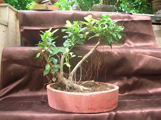ficus panda bonsai ahmedabad