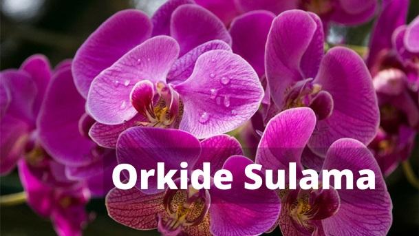 Orkide Sulama - Orkide Nasıl Sulanır?