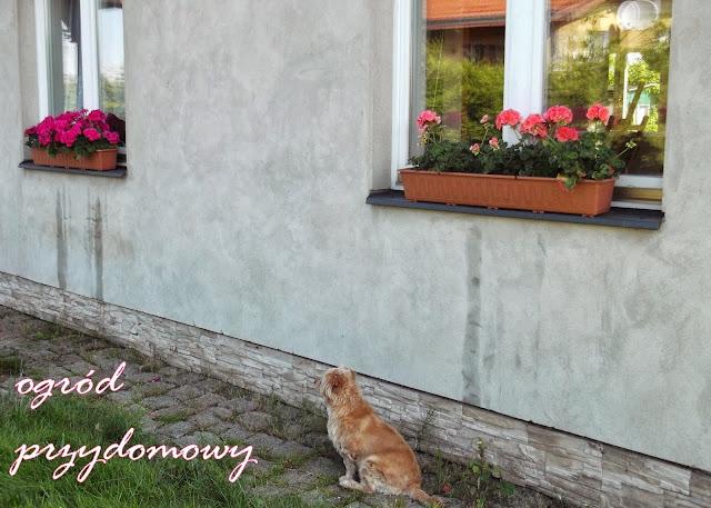 pelargonie w donicach, doniczki z pelargoniami, ogród przydomowy