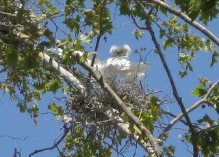 Snowy egrets on their nest, Mountain View, California