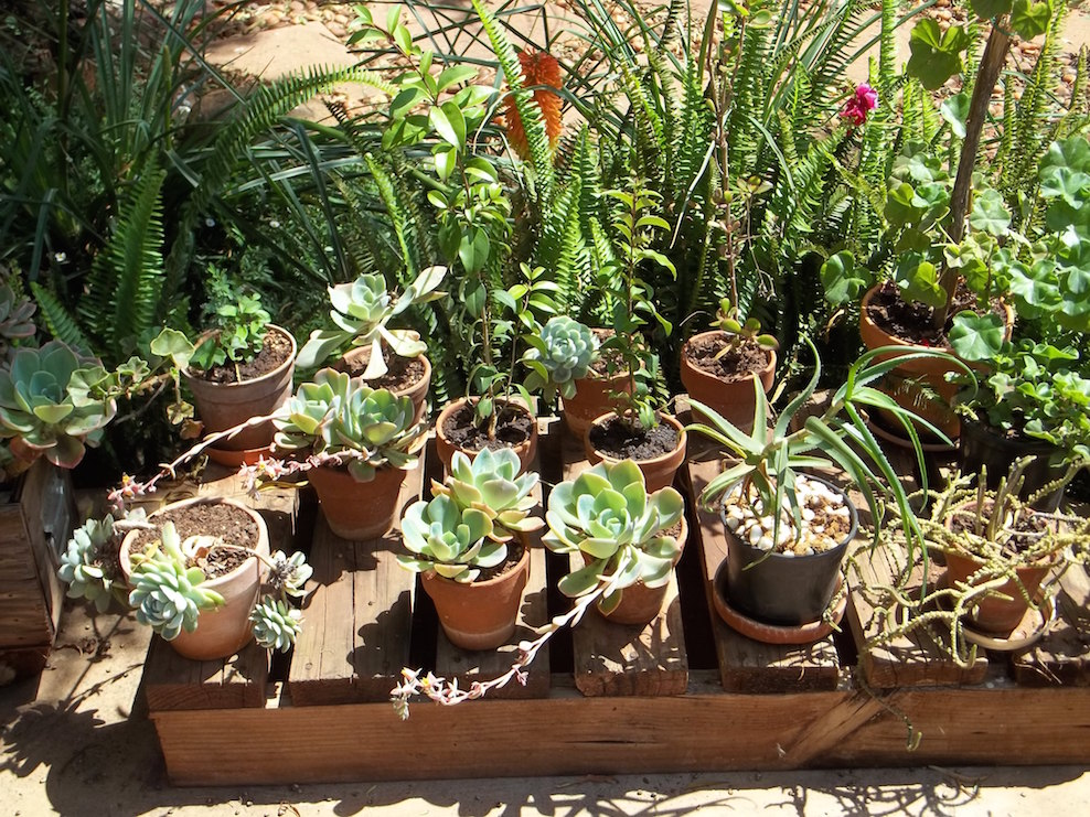 The succulent and cactus lady that 39 s me planting for Succulents that do well in shade