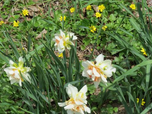 Narcissus delnashaugh