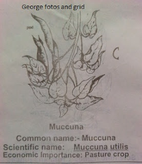 Muccuna