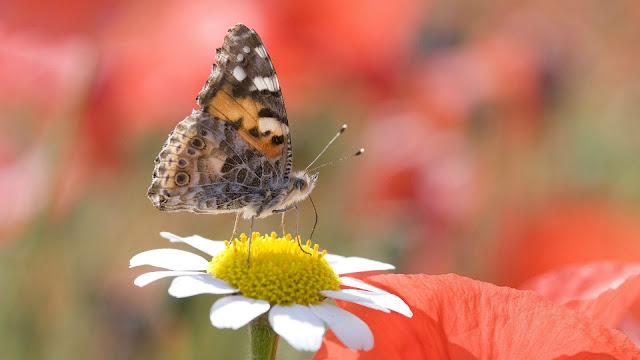 Papel de Parede Borboleta Pousada sobre uma Flor