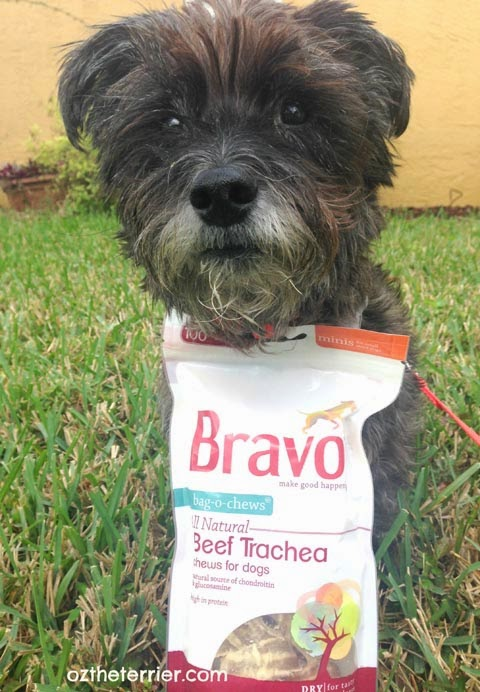 Oz the Terrier and his Bravo Bag-O-Chews Beef Trachea