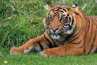 foto harimau