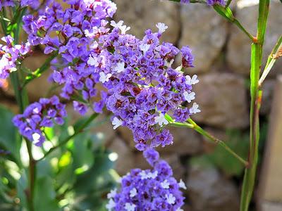 Flores moradas de Siempreviva arbórea (Limonium arborescens)