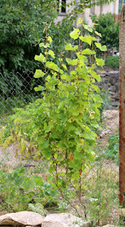 My grapevine is looking good