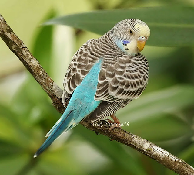 Langkawi bird tour