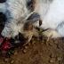 CHACO - ENRIQUE URIEN: GANADEROS DENUNCIAN EXTRAÑOS Y MISTERIOSOS ATAQUES A SUS ANIMALES
