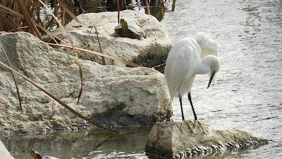 Manzanares, Parque-Río, fauna Madrid, excursiones aitor, rutas guiadas, Conoceris, fauna,