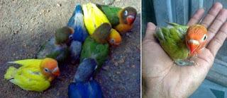 Burung Lovebird - Penyuapan Hand Feeding (Waktu Ideal Meloloh Burung Lovebird) - Penangkaran Burung Lovebird
