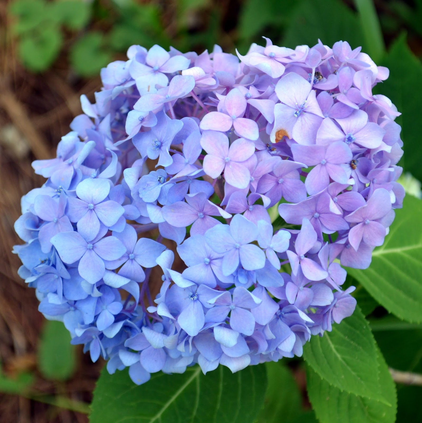 Farmers seed supply co inc hydrangea flower of many colors hydrangea flower of many colors hydrangeas are to summer what izmirmasajfo Images