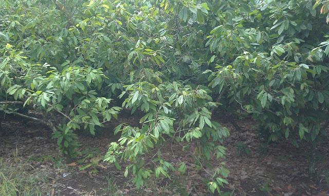 Theobroma cacao L. es el nombre científico que recibe el árbol del cacao o cacaotero, planta de hoja perenne de la familia Malvaceae.