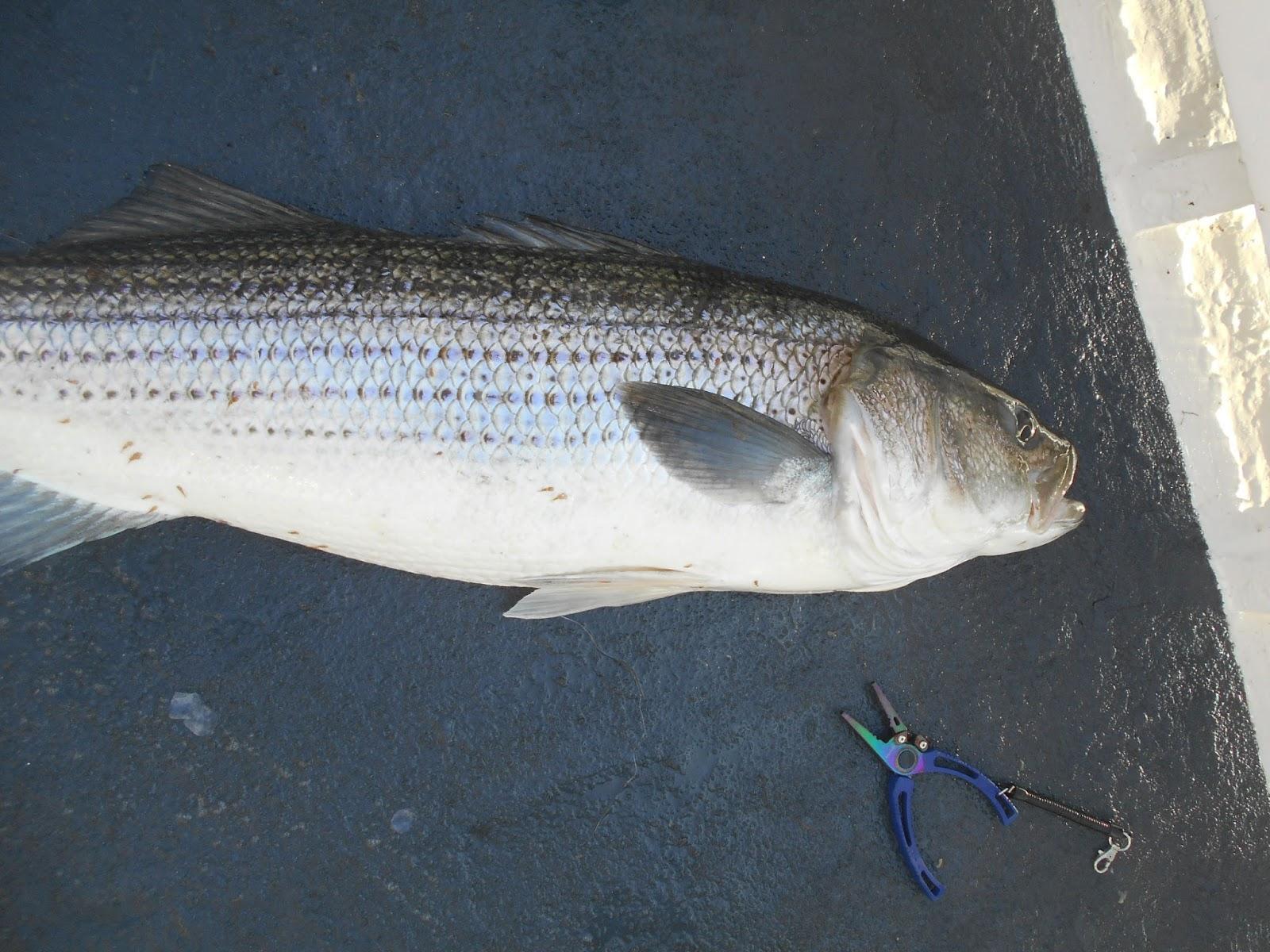 Nj salt fish 2016 06 01 captain cal belmar for Nj saltwater fishing license