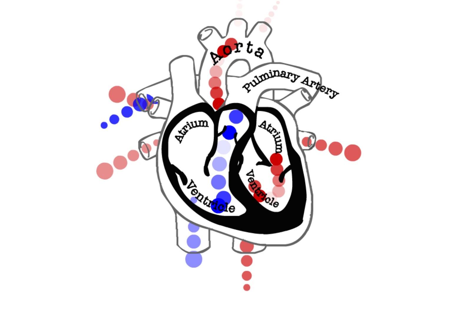 Blood Circulation Circle Swf Peredaran Darah Swf