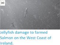 http://sciencythoughts.blogspot.co.uk/2016/07/jellyfish-damage-to-farmed-salmon-on.html