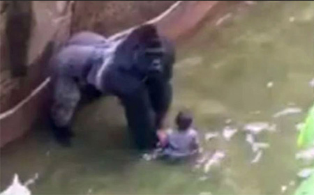 Cincinnati zoo kills gorilla to save boy who fell into enclosure