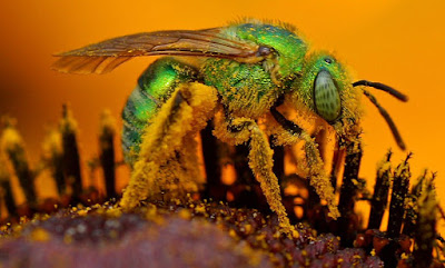 Iridescent Sweat Bee