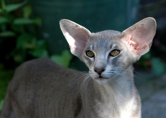 Images For: The Oriental Shorthair / Best Breed of Cat ...