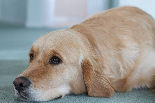 Canine Cancer is prevalent in Golden Retrievers
