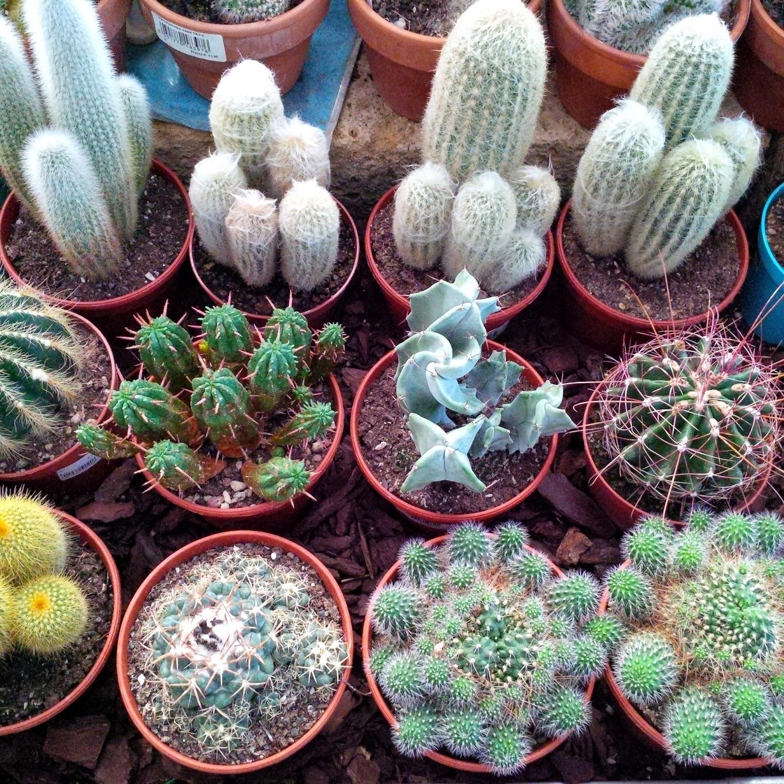 medium size cacti viridea vicenza