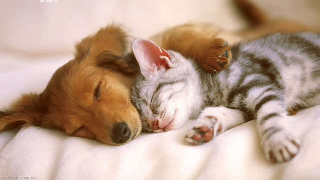 Cat and Dog Wallpaper 1