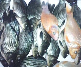 Macam-macam jenis Ikan Mas konsumsi - cianjurupdate