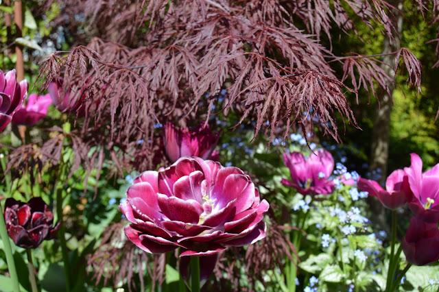 En solrik dag i Cornelias Verden - Tulipaner og lønn i sameksistens