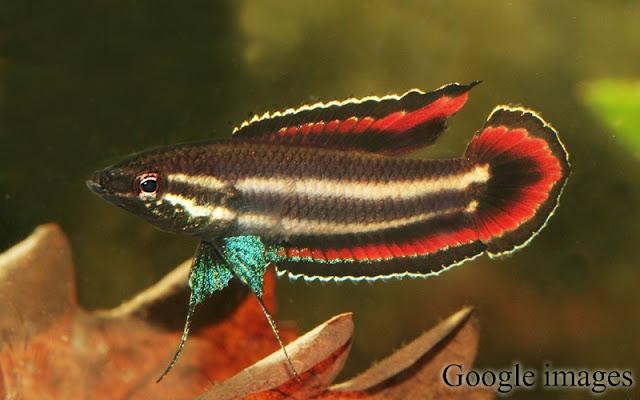 Parosphromenus Phoenicurus - ikan sumatera