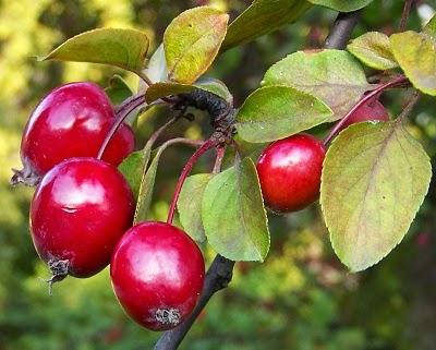 Red Crabapple fruits