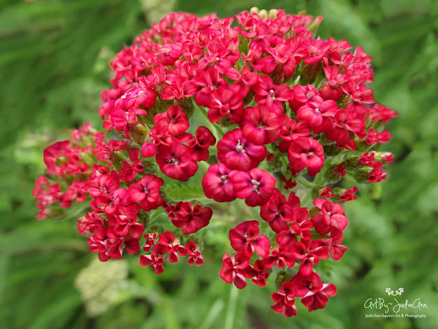 Yarrow Red Velvet
