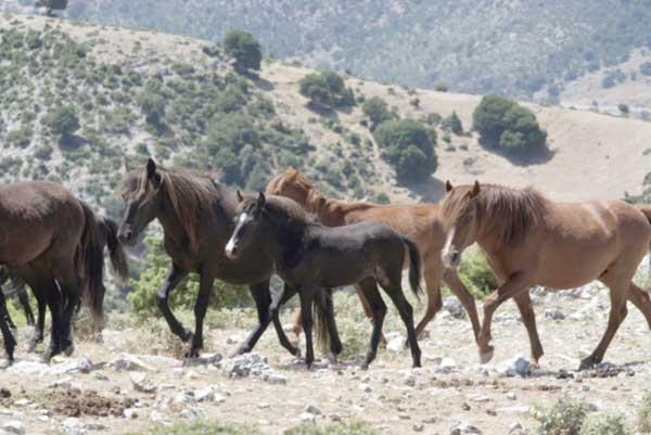 Θεσπρωτία: Τα άγρια άλογα στα βουνά Σουλίου και Φιλιατών θα πρέπει να διασωθούν