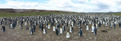 Antarctica and Patagonia: An Adventure on the Seabourn Quest - Part II (Falkland Island Penguins)