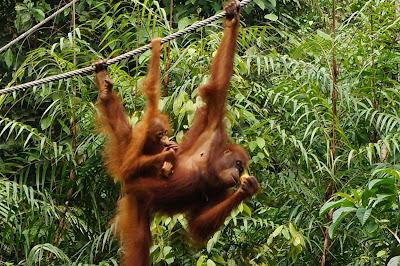 Orangs outans de Borneo