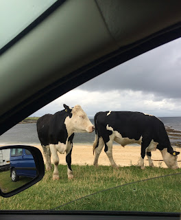 Cows on the Beach in Donegal