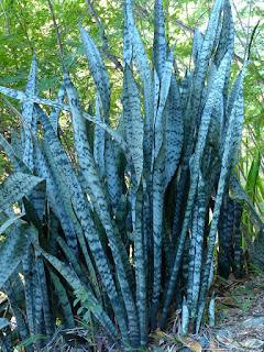 Sansevieria metallica - Sansevière - Langue de belle-mère