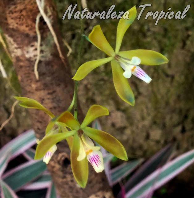 Orquídea epífita con flores de gran belleza y singularidad. Encyclia acutifolia.