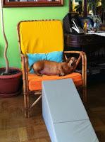 cães com corpos alongados