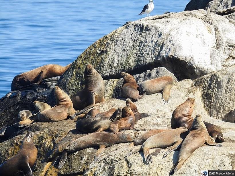 Leões marinhos no Oceano Pacífico em Viña del Mar - O que fazer em Viña del Mar em um dia, Chile
