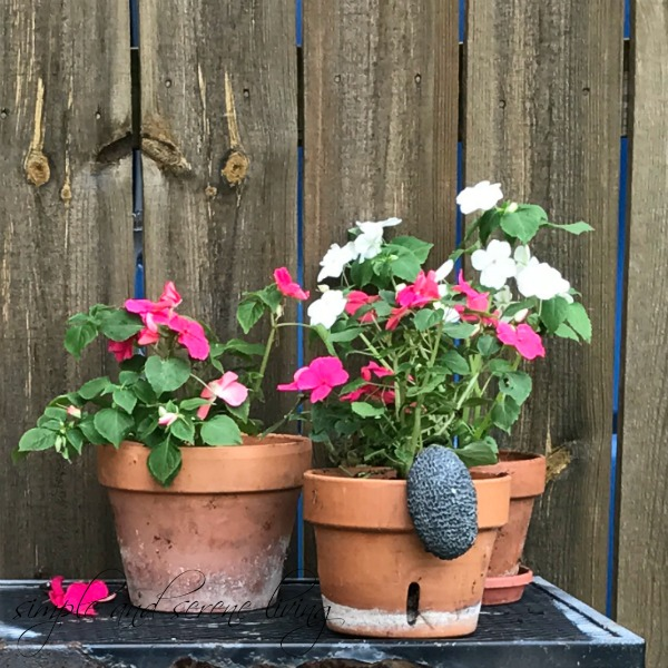 gardening impatiens container