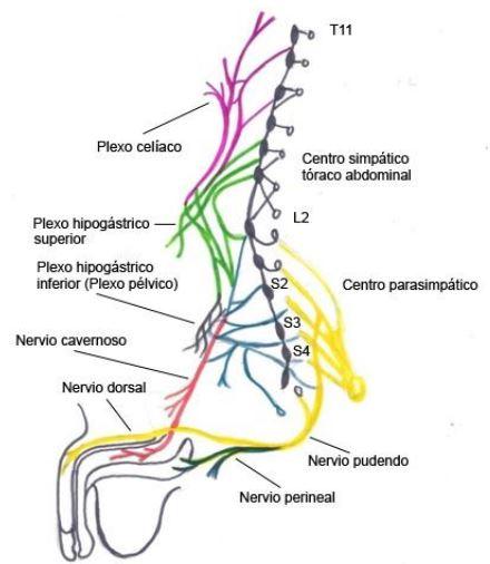 nervio de la erección masculina
