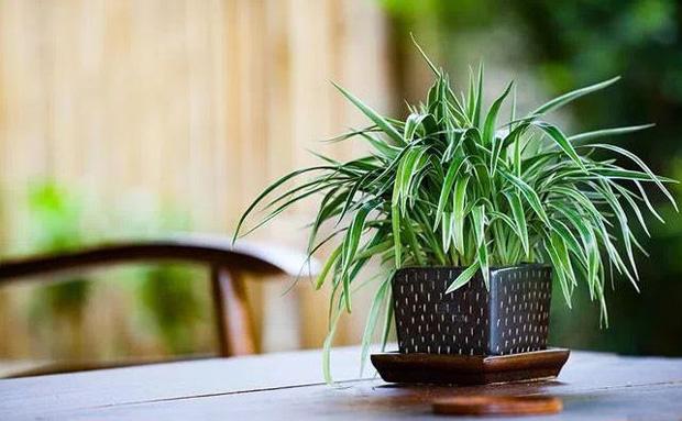 tanaman hias spider plant
