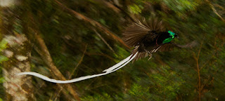 Ribbon Tailed Astrapia, Papua Endemic Bird of Paradise