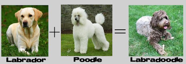 labrador + poodle