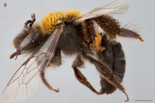 A new plasterer bee, one of many more bees to be identified in Chile