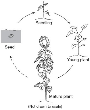 Science Technology: Seed to a seedling stage