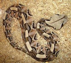 Gaboon Viper | bite | facts