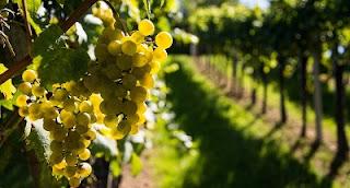 L'uva fa ingrassare