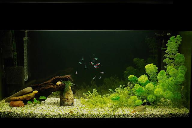 akwarium z neonem czerwonym